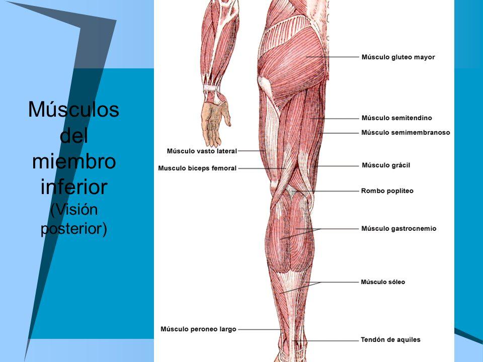 Músculos del miembro inferior (Visión posterior)