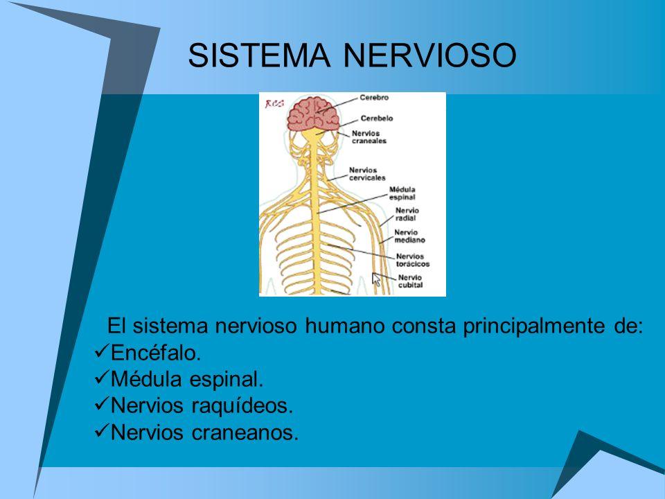 El sistema nervioso humano consta principalmente de: