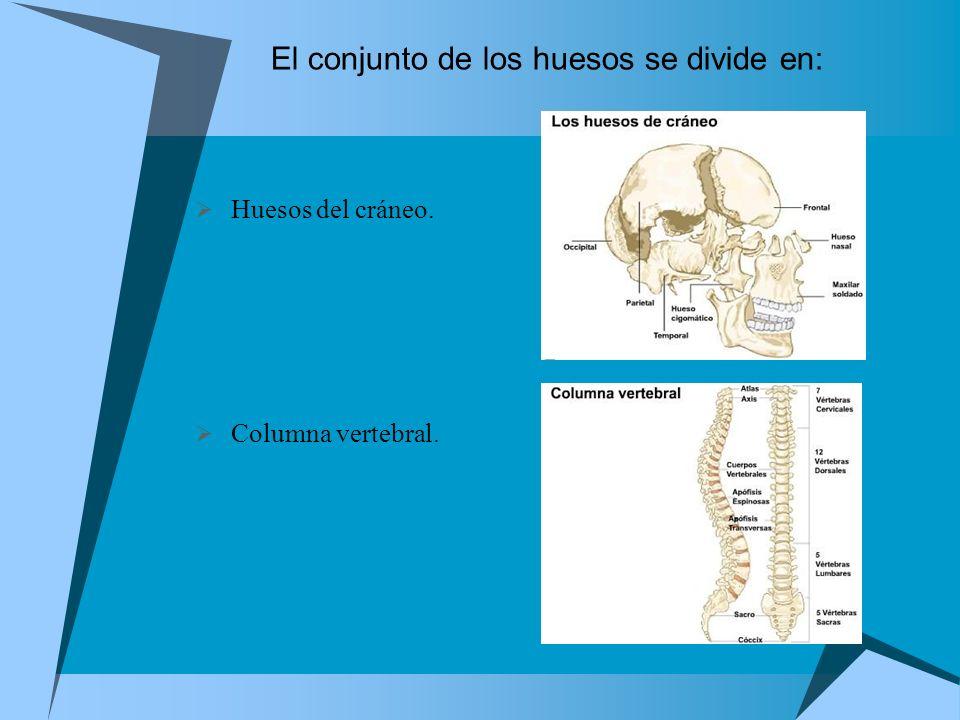 El conjunto de los huesos se divide en: