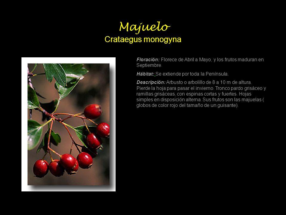 Majuelo Crataegus monogyna