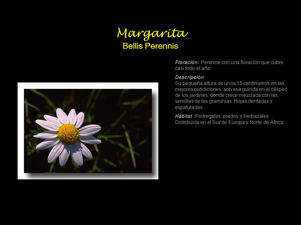 Margarita Bellis Perennis