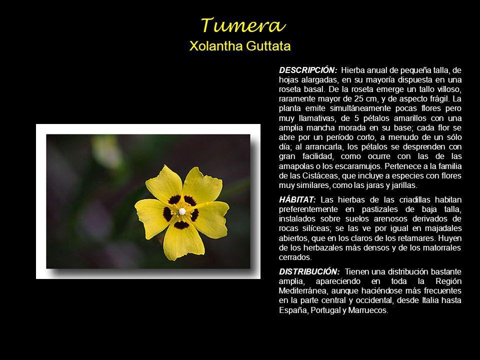 Tumera Xolantha Guttata