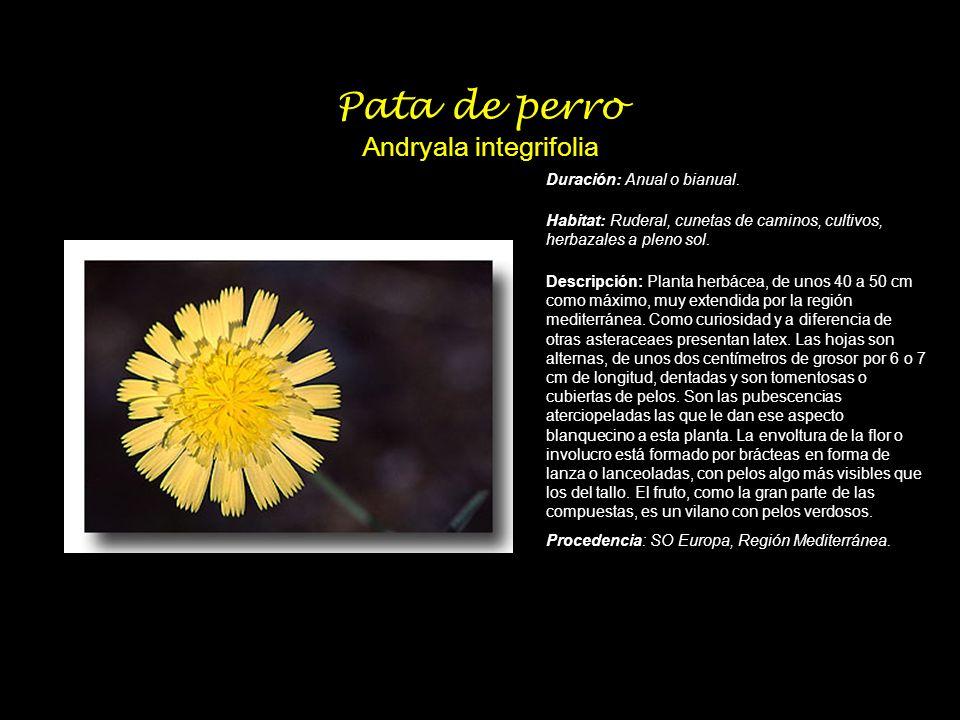 Pata de perro Andryala integrifolia