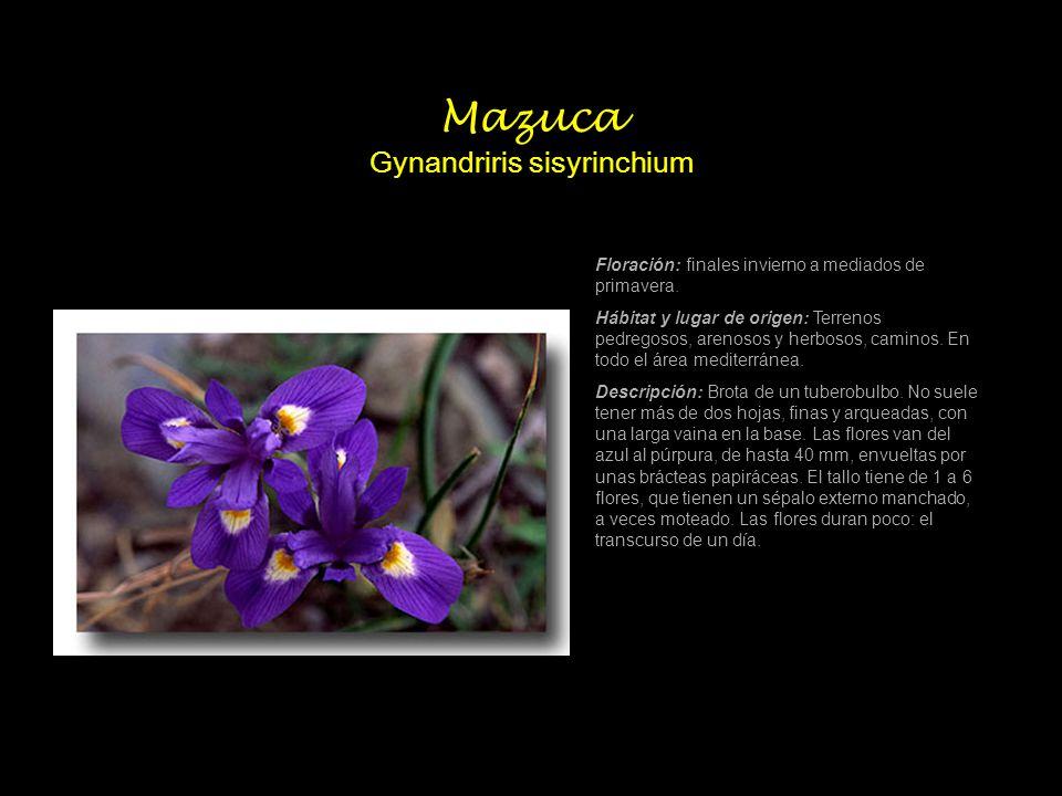 Mazuca Gynandriris sisyrinchium
