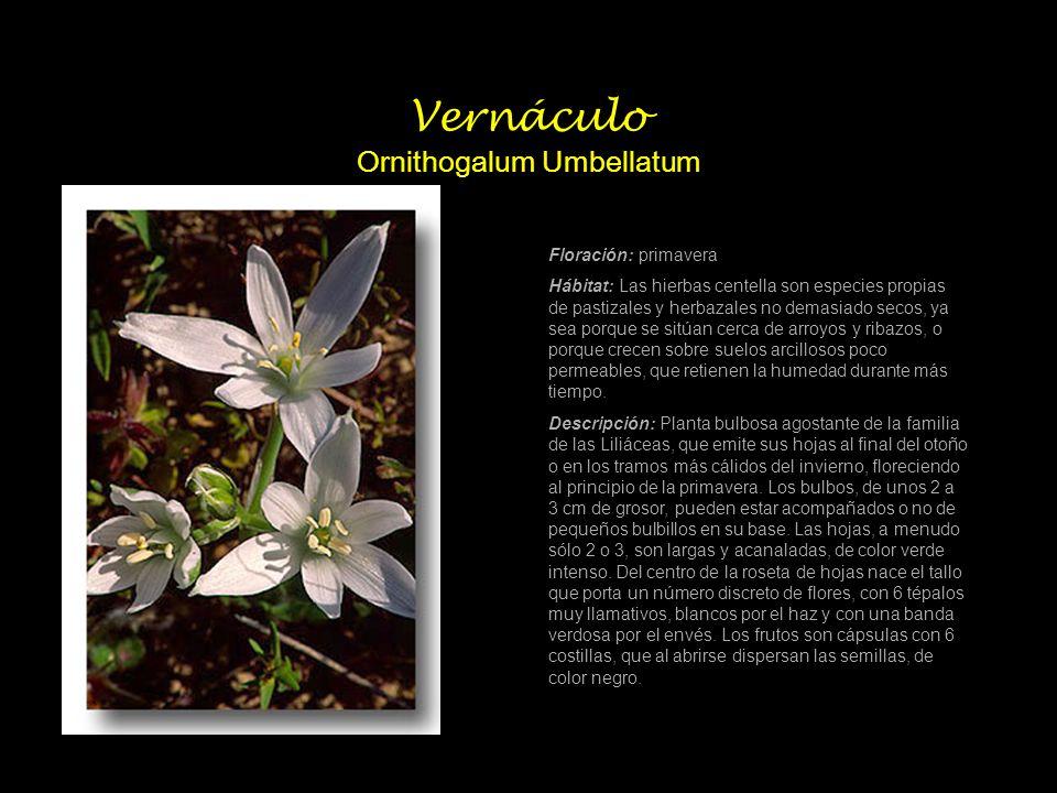 Vernáculo Ornithogalum Umbellatum