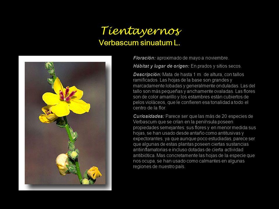 Tientayernos Verbascum sinuatum L.