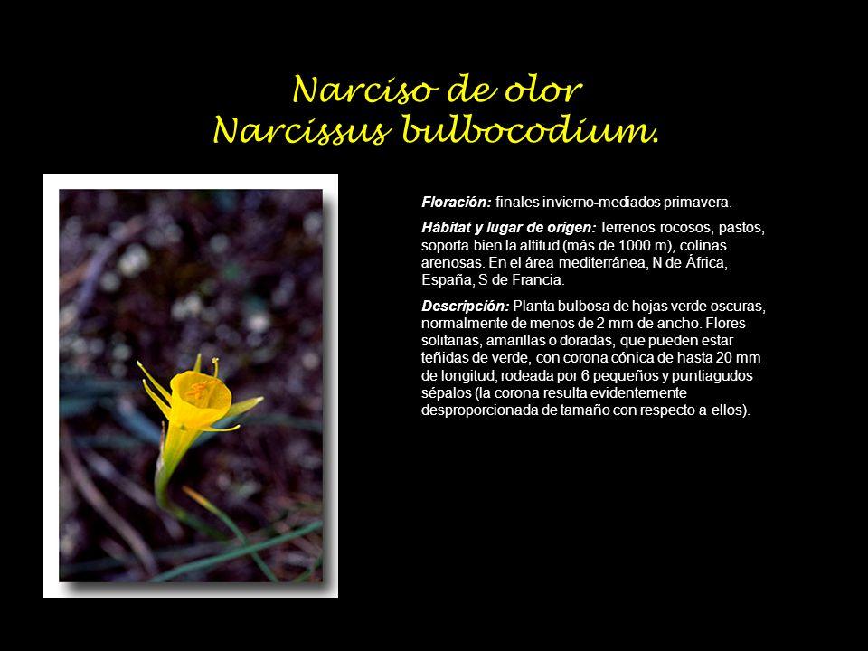 Narciso de olor Narcissus bulbocodium.