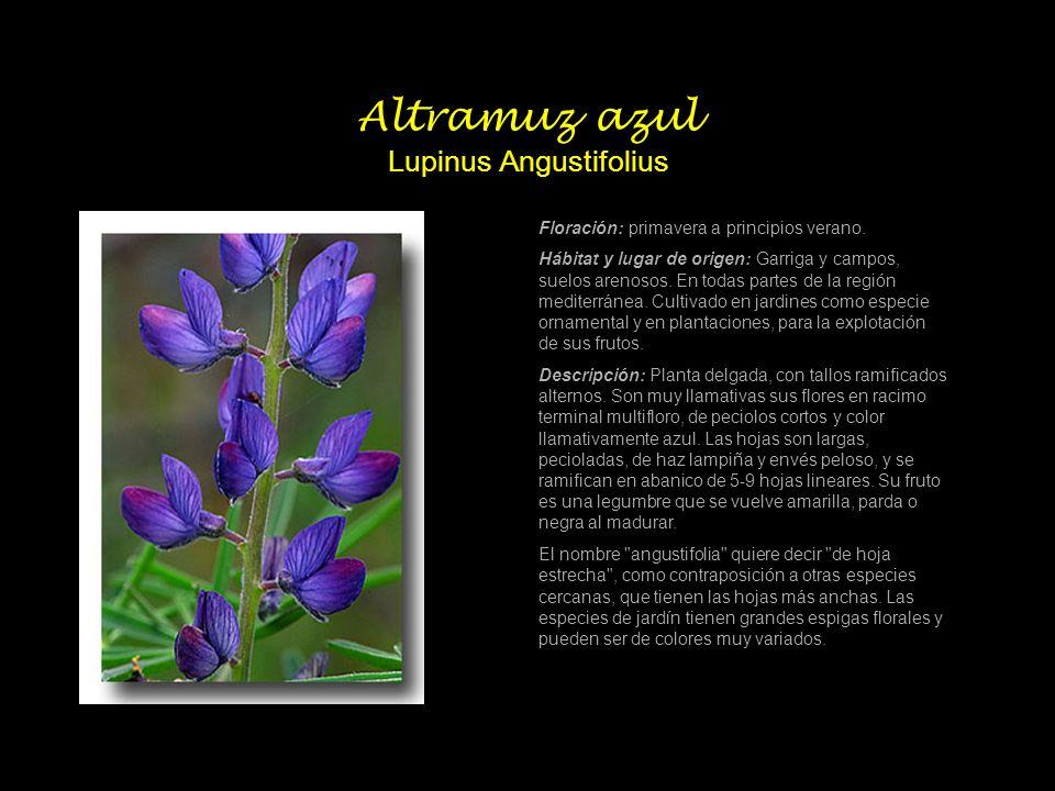Altramuz azul Lupinus Angustifolius