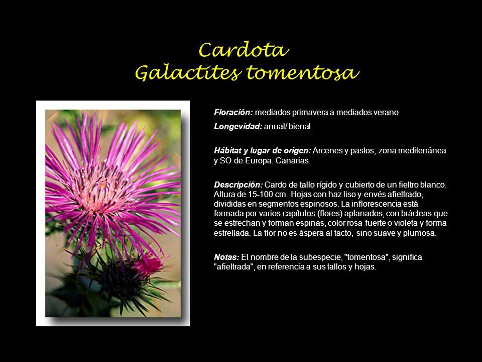 Cardota Galactites tomentosa