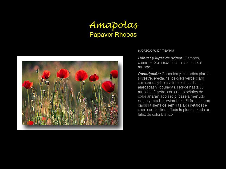 Amapolas Papaver Rhoeas