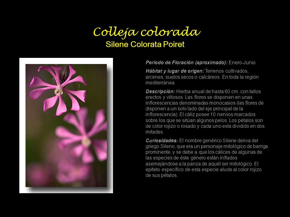 Colleja colorada Silene Colorata Poiret