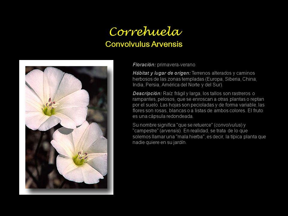 Correhuela Convolvulus Arvensis