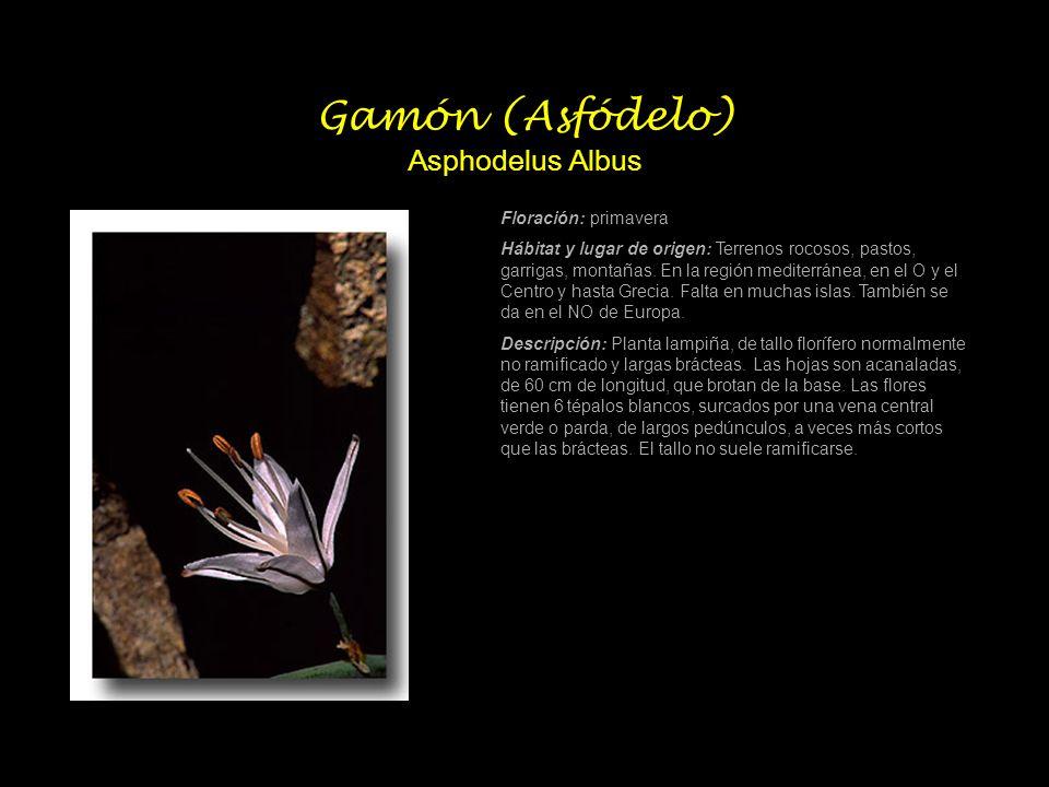 Gamón (Asfódelo) Asphodelus Albus