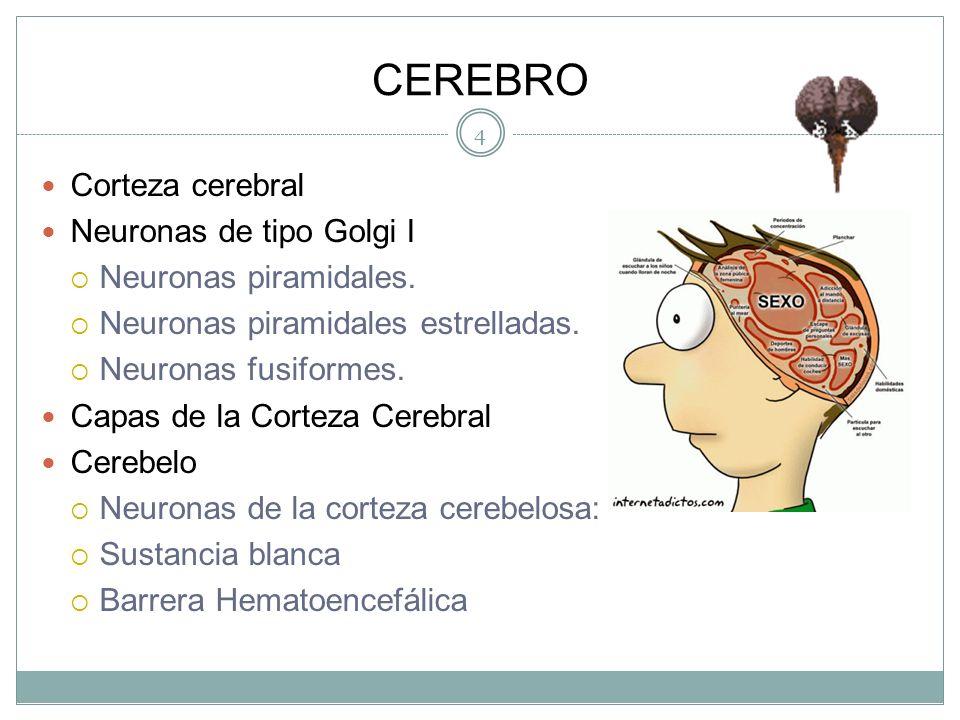 CEREBRO Corteza cerebral Neuronas de tipo Golgi I
