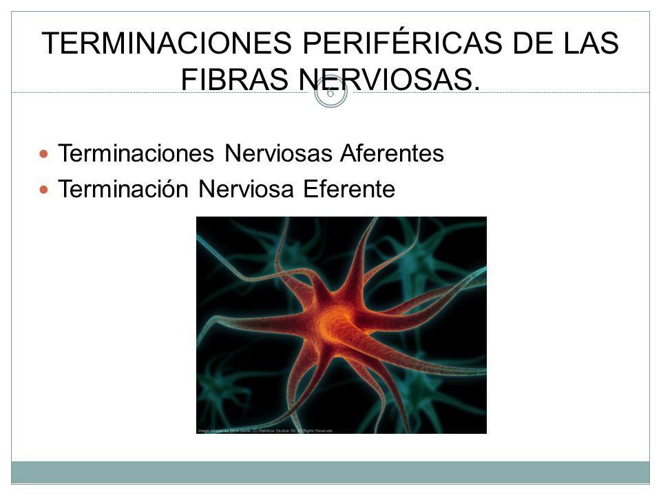 TERMINACIONES PERIFÉRICAS DE LAS FIBRAS NERVIOSAS.
