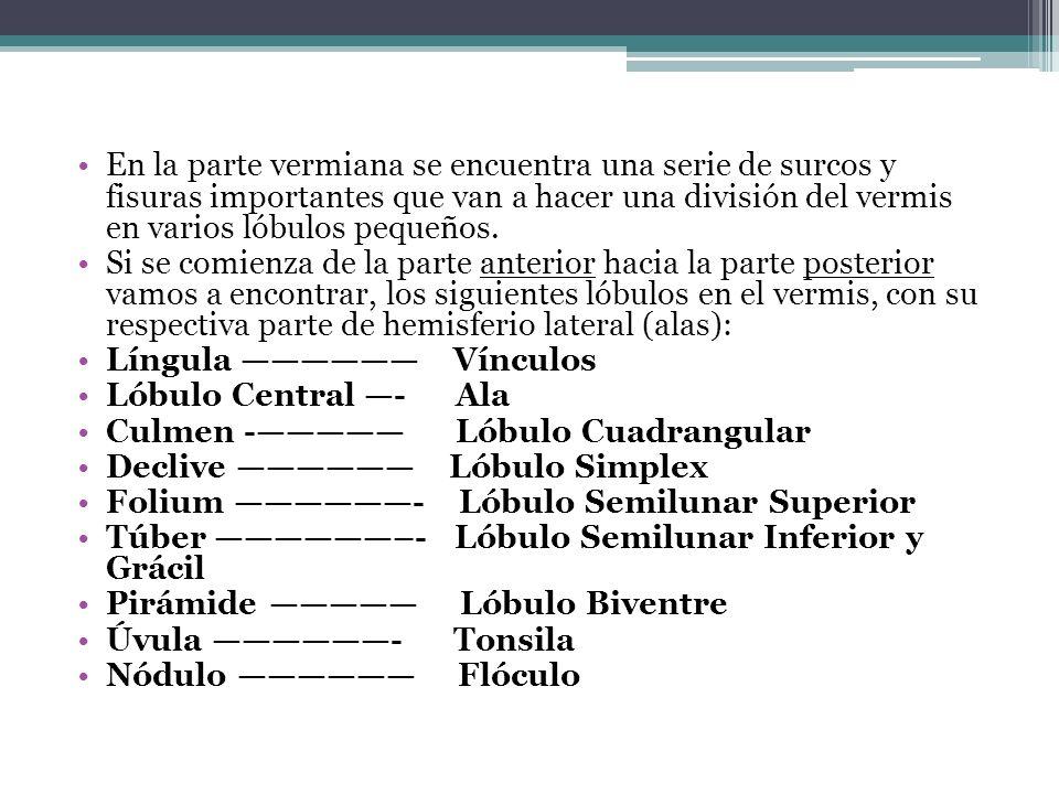 En la parte vermiana se encuentra una serie de surcos y fisuras importantes que van a hacer una división del vermis en varios lóbulos pequeños.