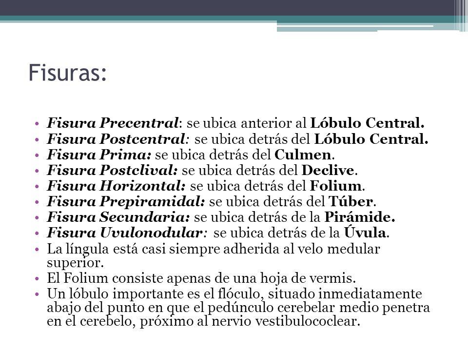 Fisuras: Fisura Precentral: se ubica anterior al Lóbulo Central.