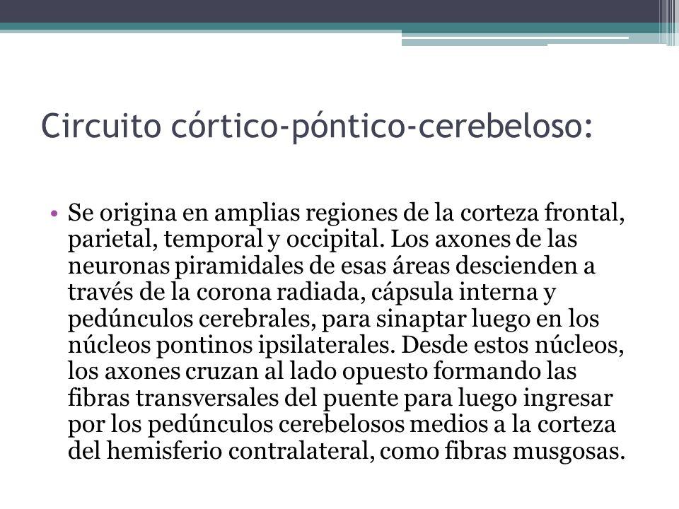 Circuito córtico-póntico-cerebeloso: