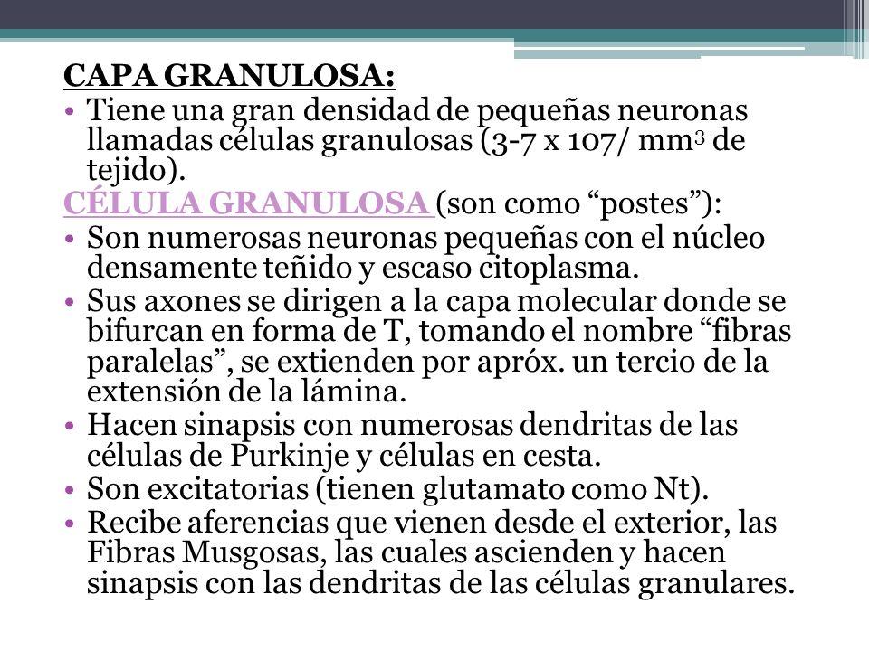 Capa granulosa: Tiene una gran densidad de pequeñas neuronas llamadas células granulosas (3-7 x 107/ mm3 de tejido).