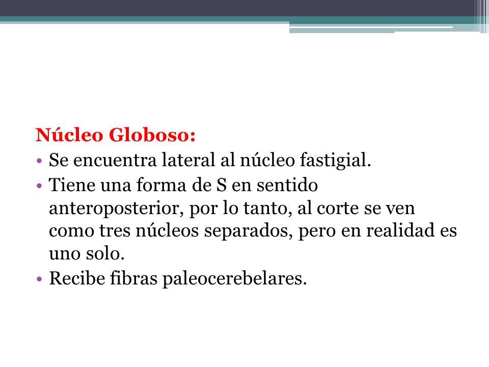 Núcleo Globoso: Se encuentra lateral al núcleo fastigial.