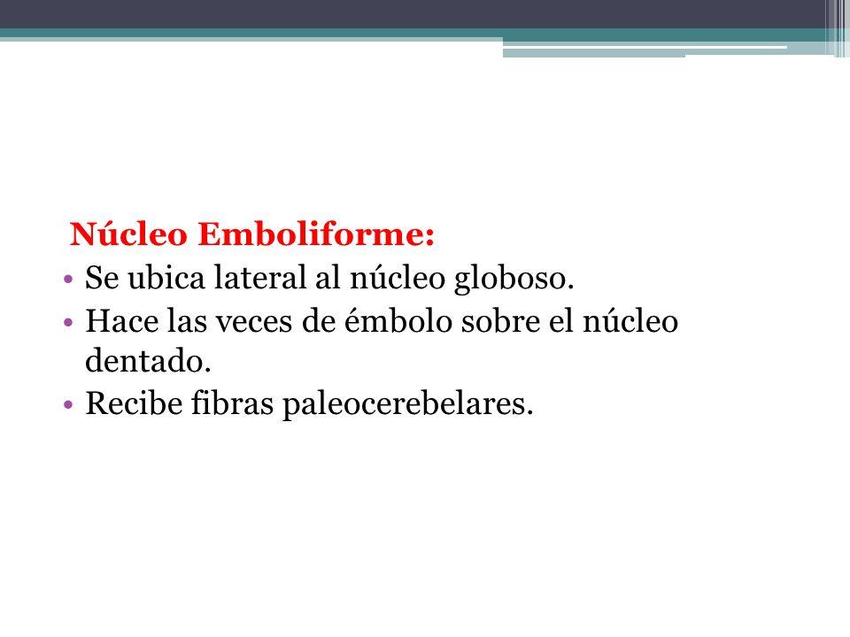Núcleo Emboliforme: Se ubica lateral al núcleo globoso. Hace las veces de émbolo sobre el núcleo dentado.