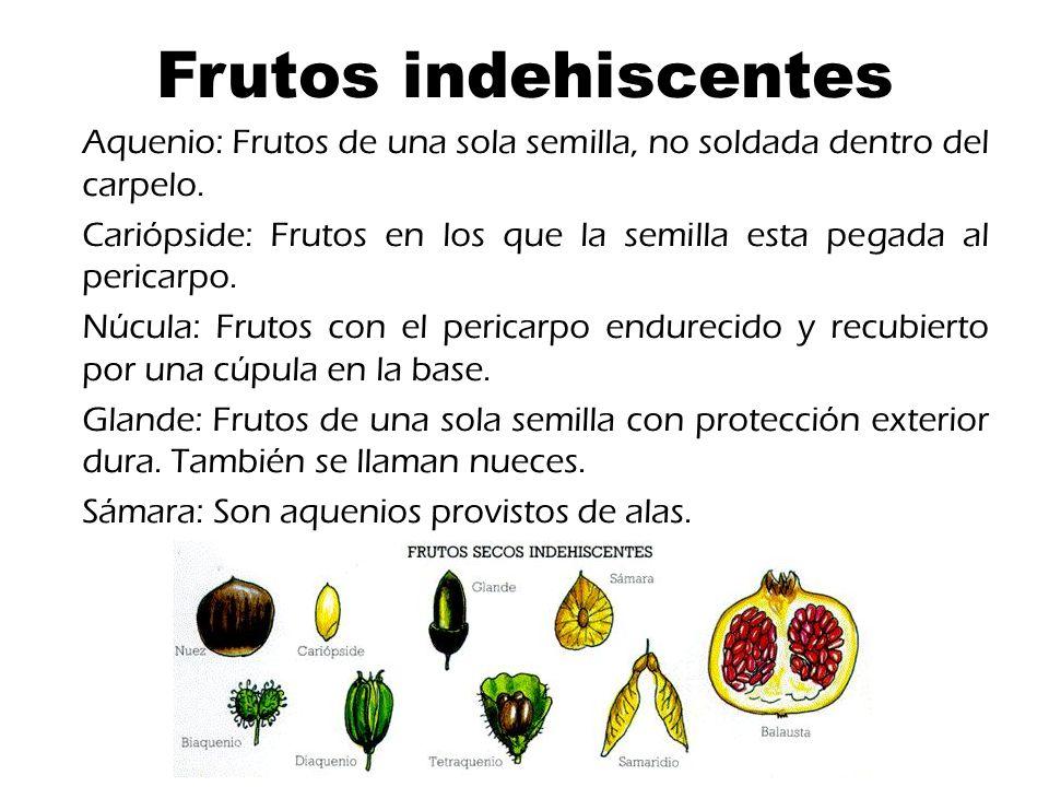 Frutos indehiscentes Aquenio: Frutos de una sola semilla, no soldada dentro del carpelo.