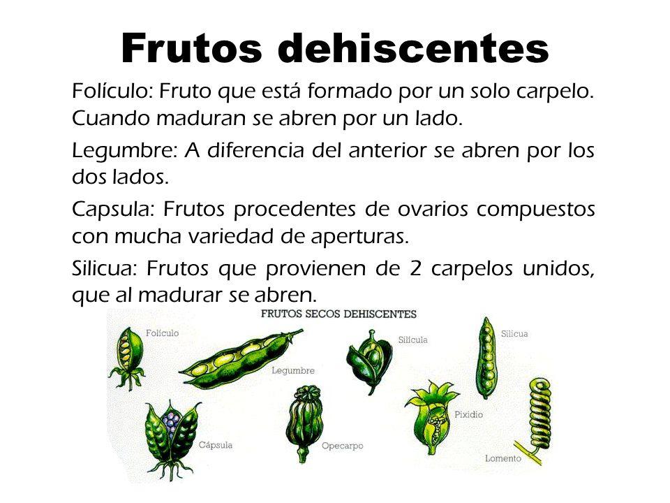 Frutos dehiscentes Folículo: Fruto que está formado por un solo carpelo. Cuando maduran se abren por un lado.