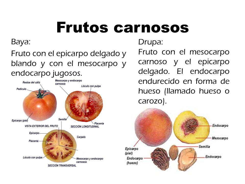 Frutos carnosos Baya: Drupa: