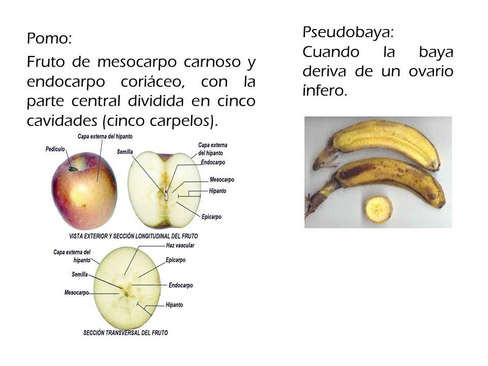 Pseudobaya: Cuando la baya deriva de un ovario ínfero.