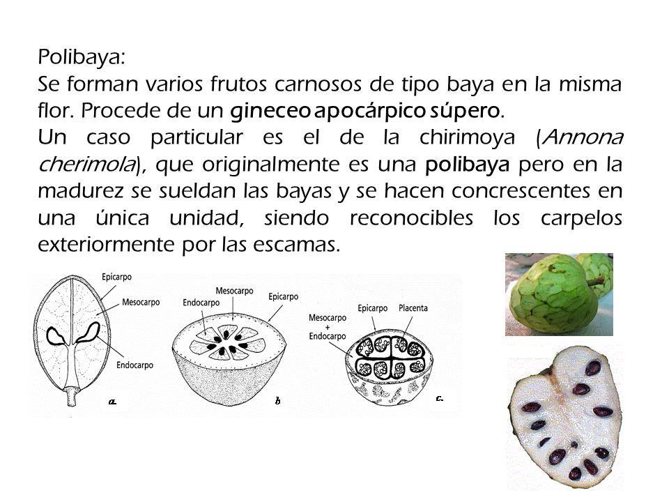 Polibaya: Se forman varios frutos carnosos de tipo baya en la misma flor. Procede de un gineceo apocárpico súpero.