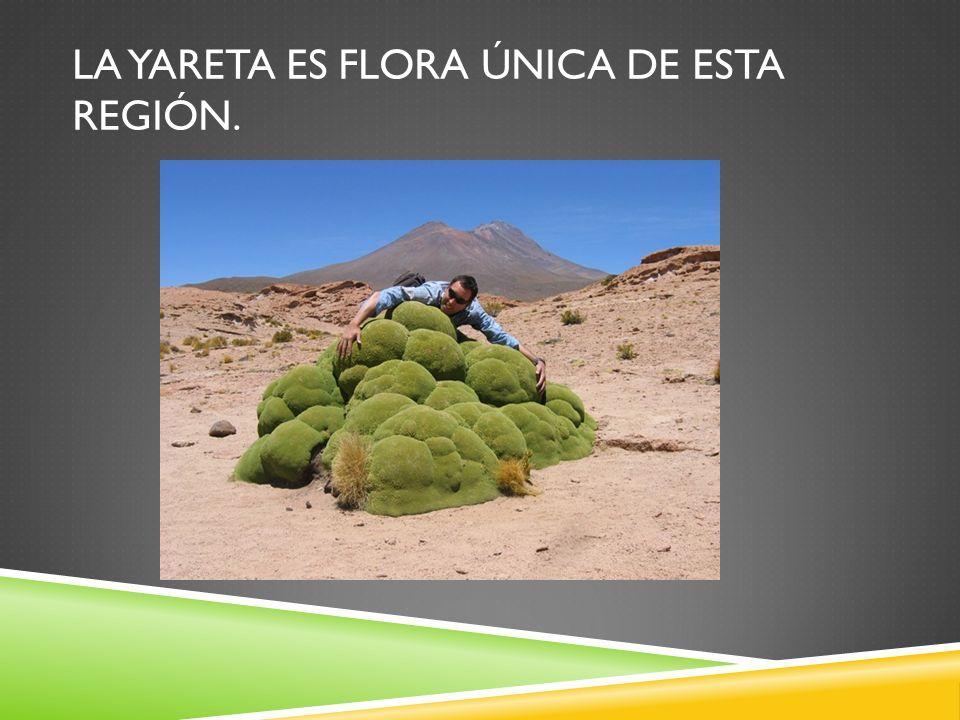 La yareta es flora única de esta región.