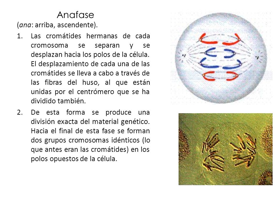 Anafase (ana: arriba, ascendente).