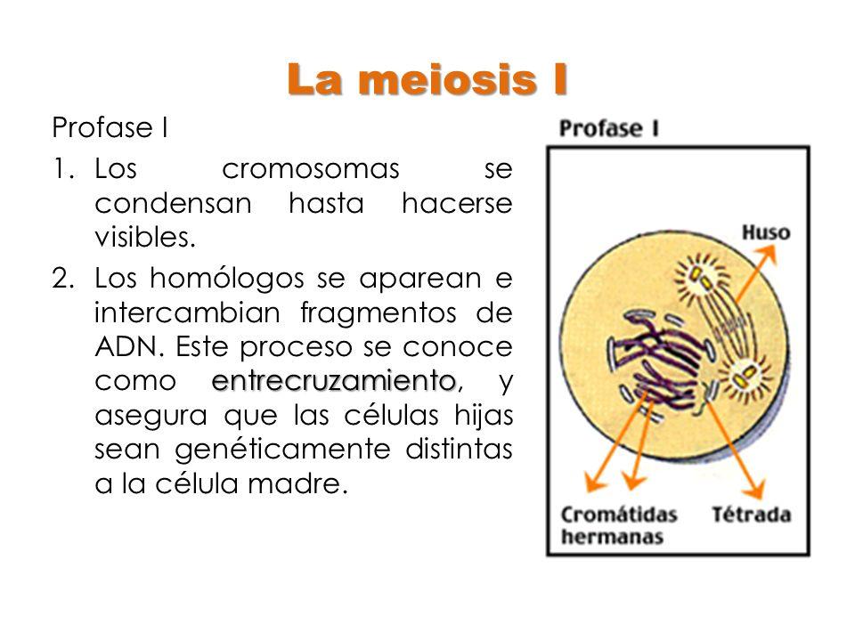 La meiosis I Profase I. Los cromosomas se condensan hasta hacerse visibles.