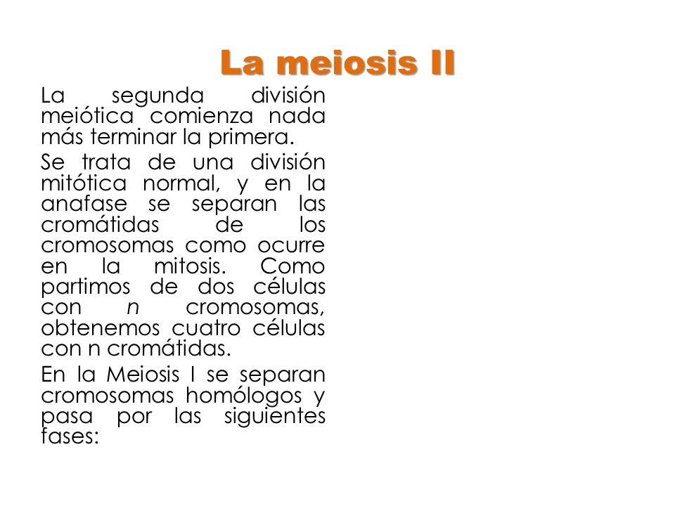 La meiosis II
