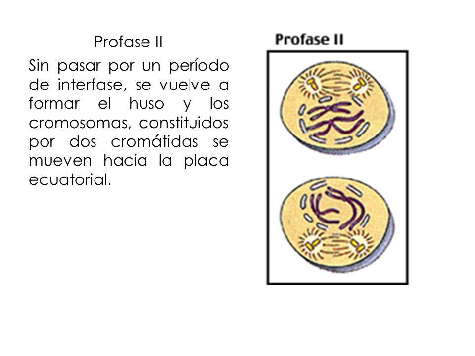 Profase II