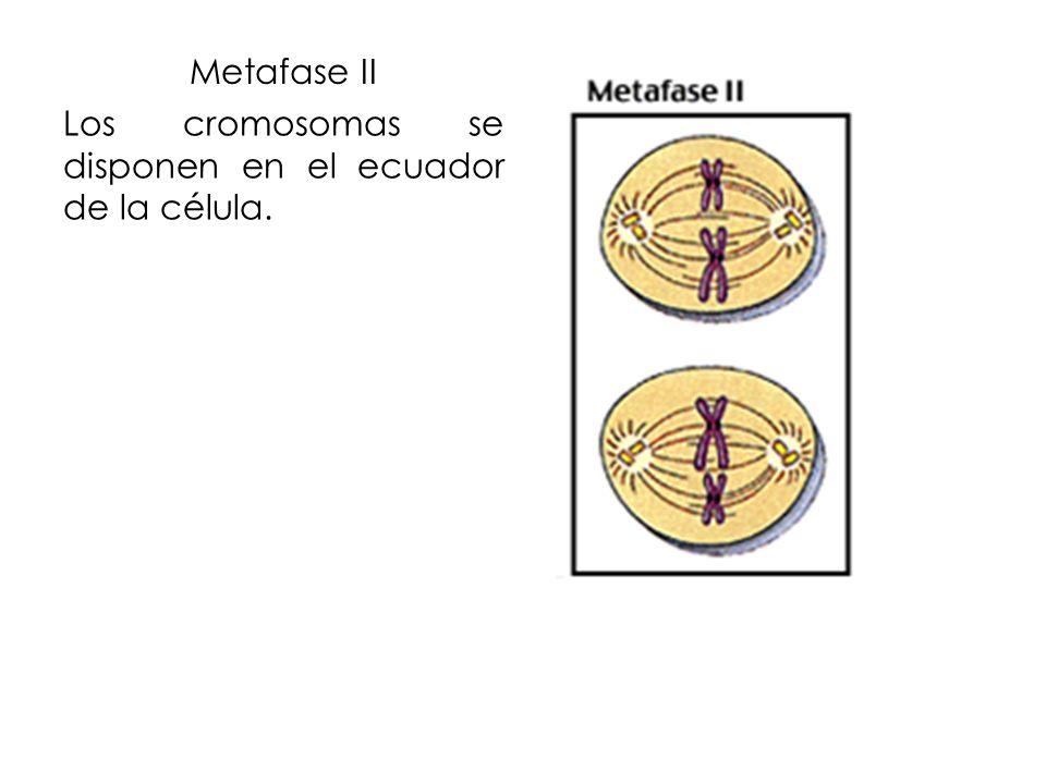 Metafase II Los cromosomas se disponen en el ecuador de la célula.
