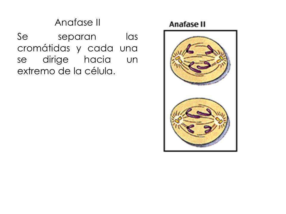 Anafase II Se separan las cromátidas y cada una se dirige hacia un extremo de la célula.