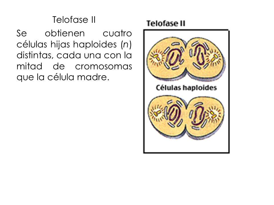Telofase II Se obtienen cuatro células hijas haploides (n) distintas, cada una con la mitad de cromosomas que la célula madre.