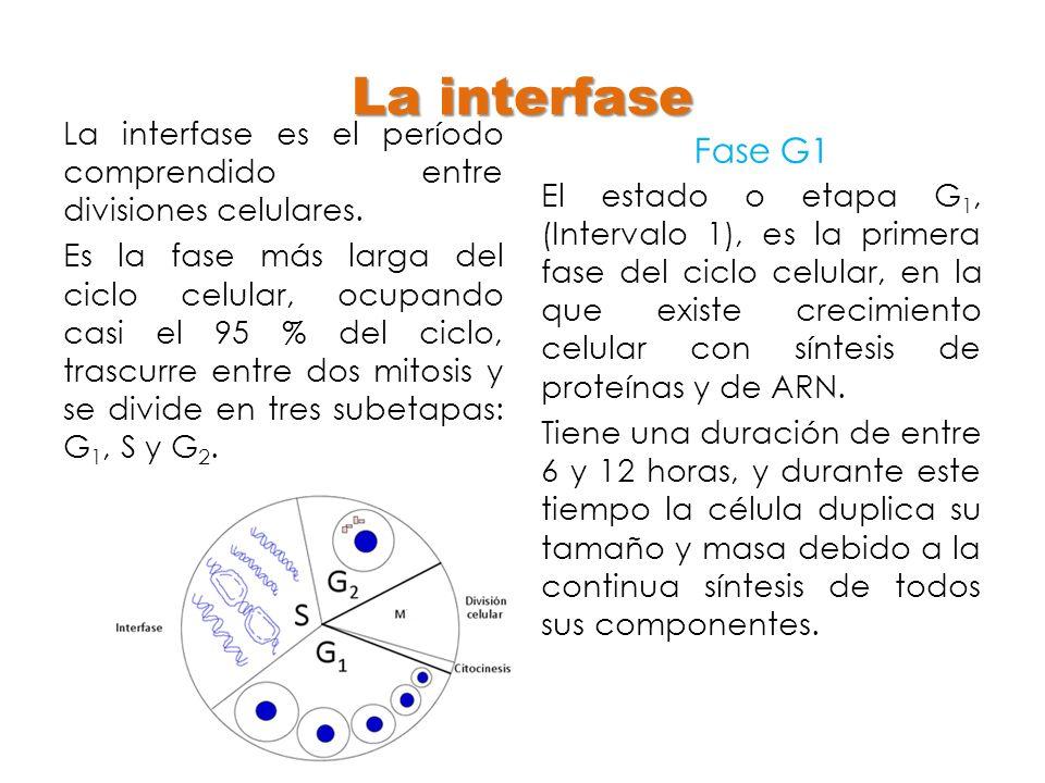 La interfase Fase G1. La interfase es el período comprendido entre divisiones celulares.