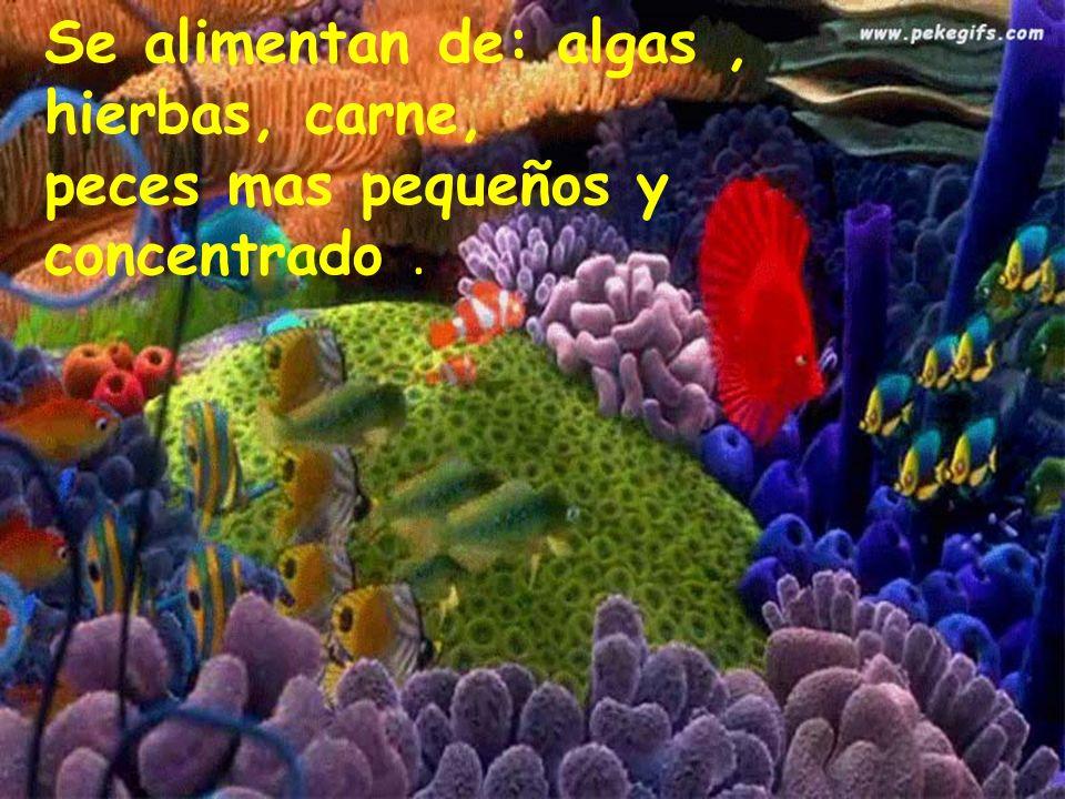 Se alimentan de: algas , hierbas, carne, peces mas pequeños y concentrado .