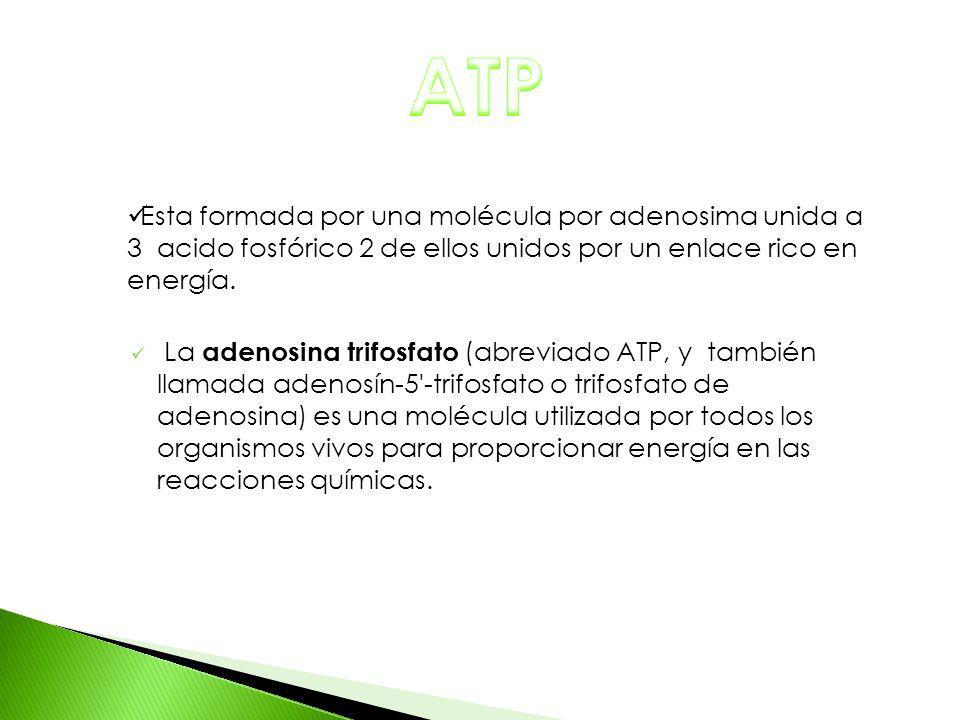 ATP Esta formada por una molécula por adenosima unida a