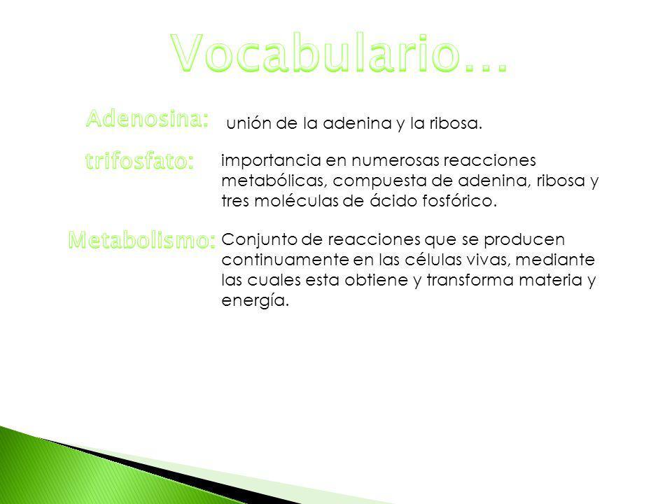 Vocabulario… Adenosina: trifosfato: Metabolismo: