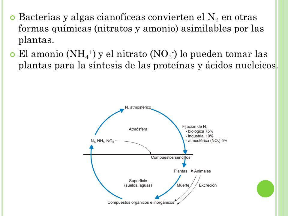Bacterias y algas cianofíceas convierten el N2 en otras formas químicas (nitratos y amonio) asimilables por las plantas.
