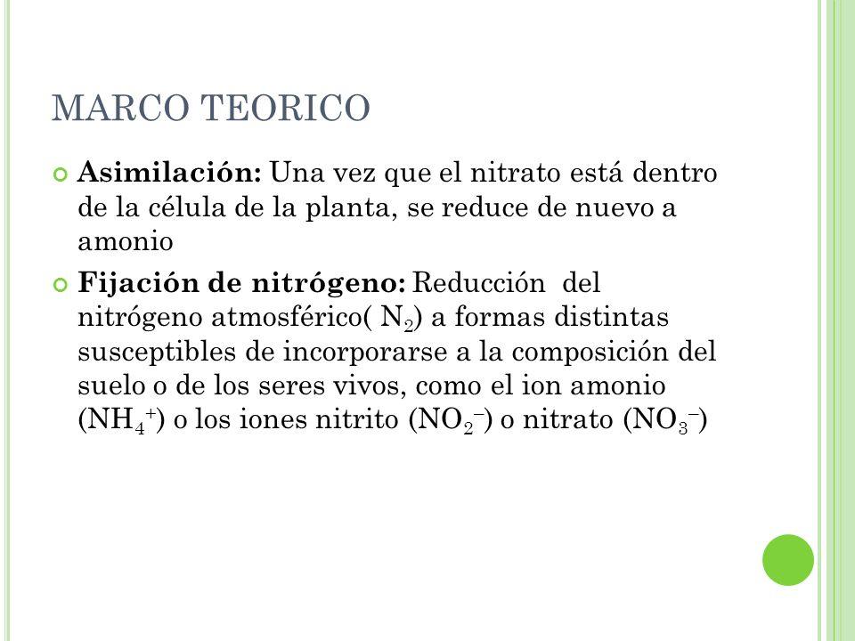 MARCO TEORICO Asimilación: Una vez que el nitrato está dentro de la célula de la planta, se reduce de nuevo a amonio.