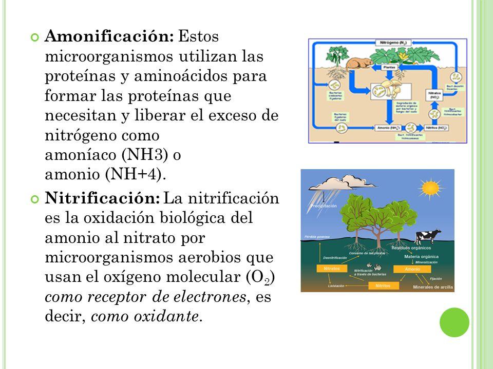 Amonificación: Estos microorganismos utilizan las proteínas y aminoácidos para formar las proteínas que necesitan y liberar el exceso de nitrógeno como amoníaco (NH3) o amonio (NH+4).