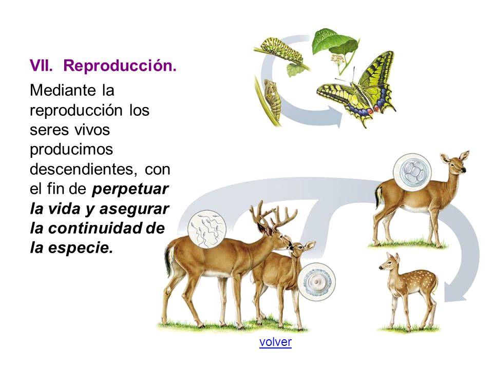 VII. Reproducción.