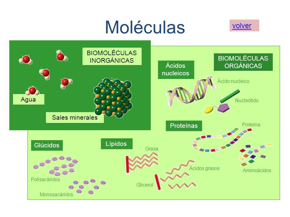 Moléculas volver BIOMOLÉCULAS INORGÁNICAS BIOMOLÉCULAS ORGÁNICAS