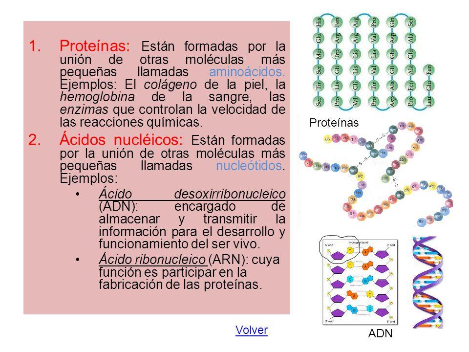 Proteínas: Están formadas por la unión de otras moléculas más pequeñas llamadas aminoácidos. Ejemplos: El colágeno de la piel, la hemoglobina de la sangre, las enzimas que controlan la velocidad de las reacciones químicas.