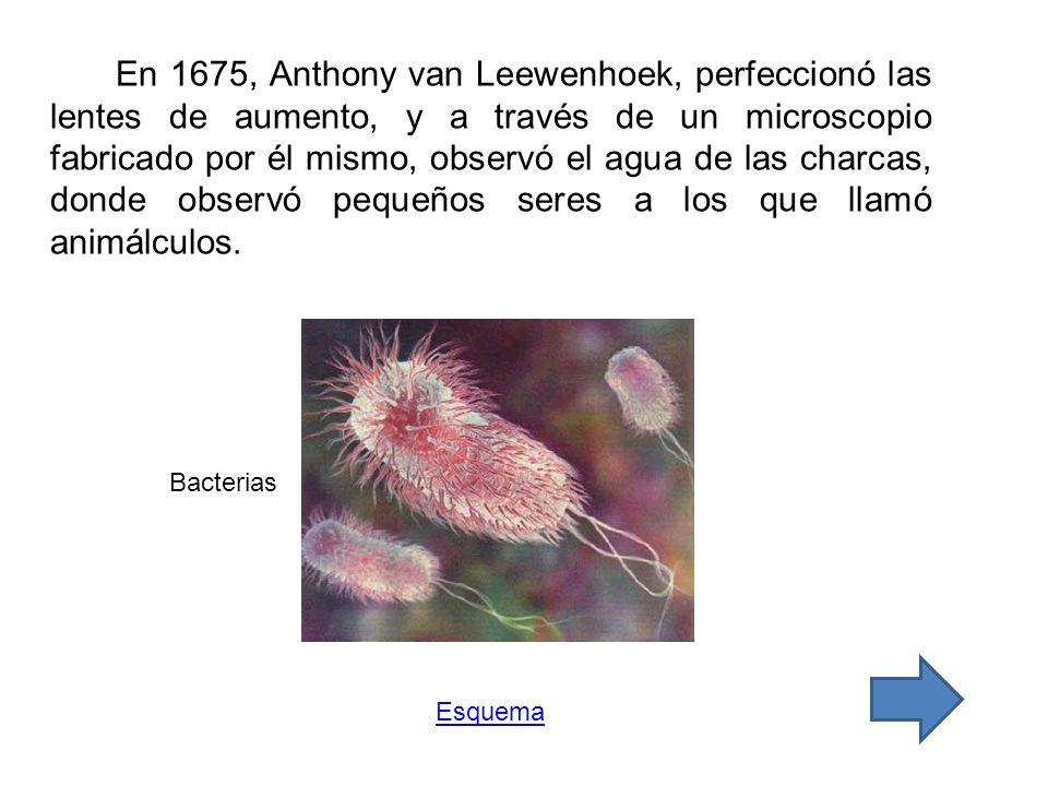 En 1675, Anthony van Leewenhoek, perfeccionó las lentes de aumento, y a través de un microscopio fabricado por él mismo, observó el agua de las charcas, donde observó pequeños seres a los que llamó animálculos.