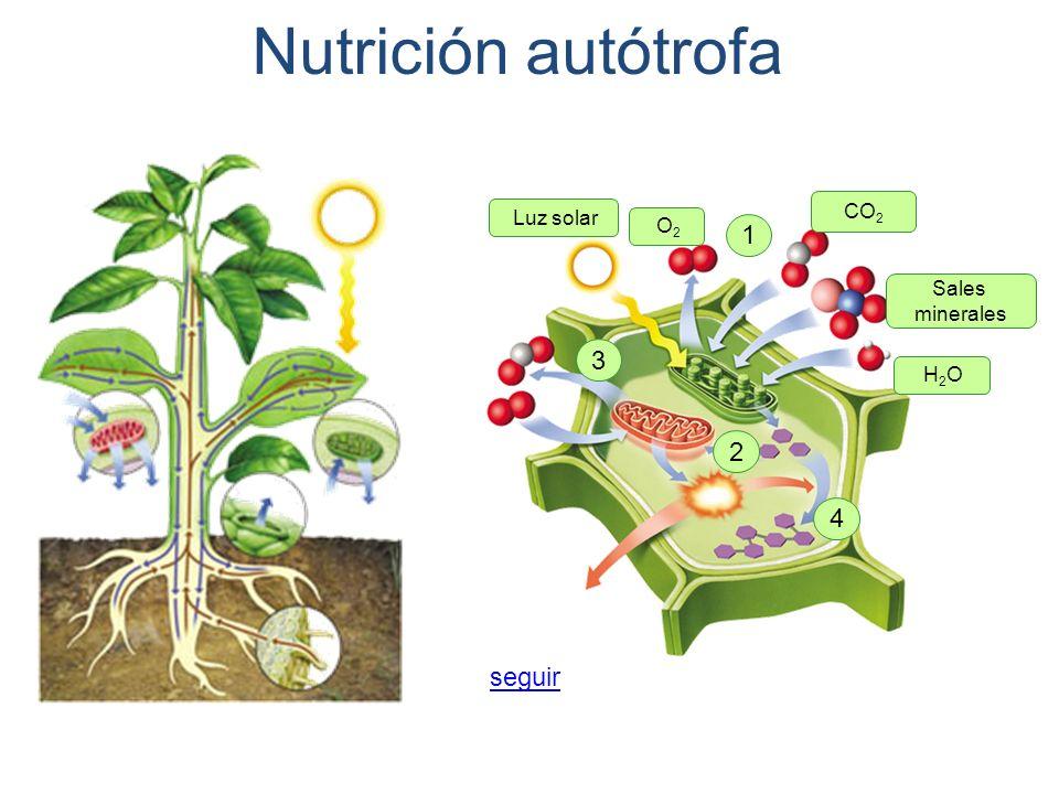 Nutrición autótrofa 1 3 2 4 seguir CO2 Luz solar O2 Sales minerales